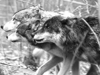 wolfhunting